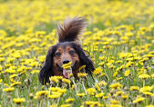 Take a smell at dandelion — Stock Photo