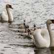 Squeakers - cygnet — Stock Photo #2579346