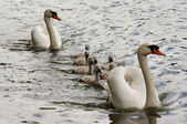 Squeakers - cygnet — Stock Photo
