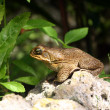 Cane toad — Stock Photo #2258061