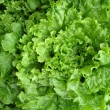 Crisp lettuce background — Stock Photo