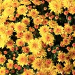 Yellow chrysanthemum background — Stock Photo