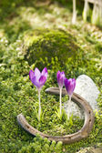 Crocuses and horseshoe — Stock Photo