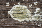Lichen on old wood — Stock Photo