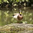 Duck on log — Stock Photo