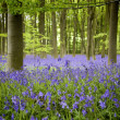 Bluebells - Stock fotografie