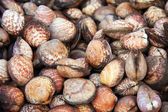 Clams shell background — Stock Photo