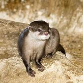 Otter on rock — Stock Photo