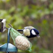 Great tit on fat ball — Stock Photo