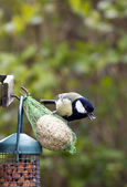 Great tit on fat ball — Foto Stock