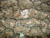 Tree bark and lichen — Stock Photo