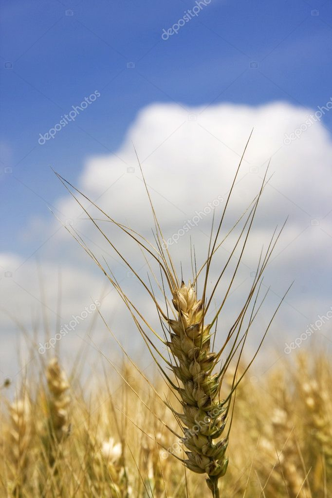 Ear of wheat against blue sky — Stock Photo #2415532