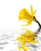 Daffodil reflected — 图库照片