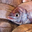 Bream closeup — Stock Photo