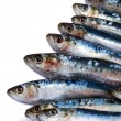 Sardines on white — Stock Photo