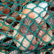 Scallop catch - Stock Photo