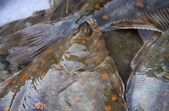 Plaice — Stock Photo