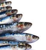 Sardines on white — Stock Photo