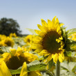 Foto Stock: Sunflowers