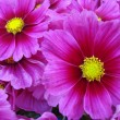Pink daisies — Stock Photo #2485498