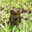 Cane toad — Stock Photo