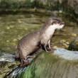 River otter — Stock Photo #2619188
