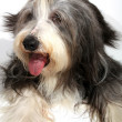 Royalty-Free Stock Photo: Bearded collie