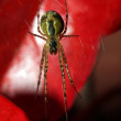 Stock Photo: Spider on red leaves