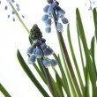 Stock Photo: Blue spring flowers