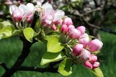 Flowering apple tree — Stock Photo