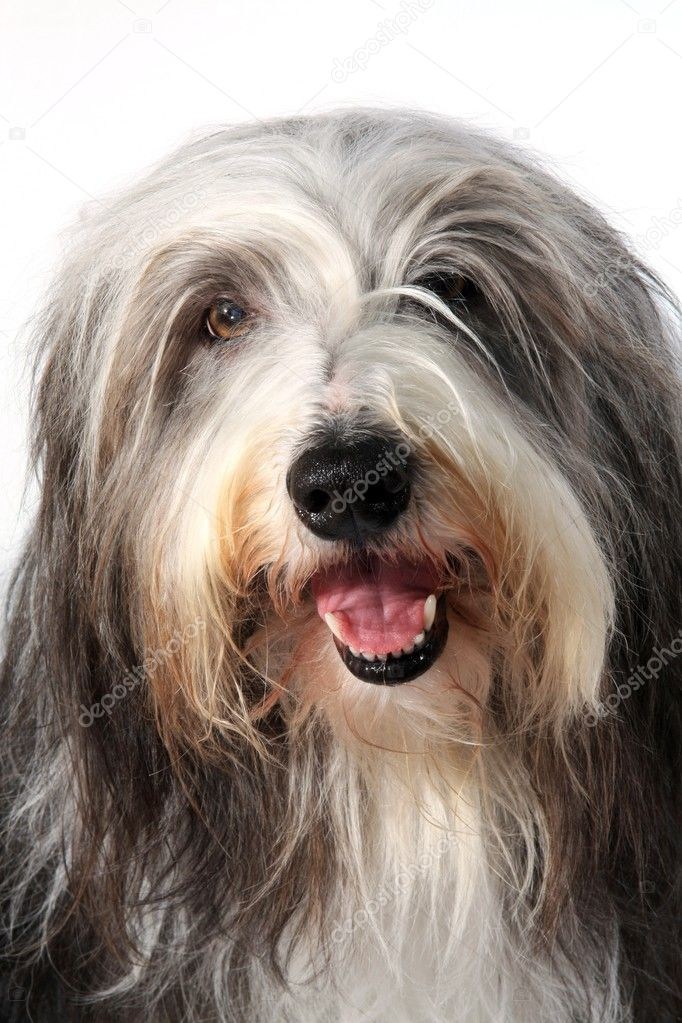 Bearded Collie on white background  — Stock Photo #2660278