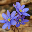 Blue Hepatica — Stock Photo