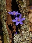 Blue spring flowers — ストック写真