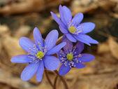 Blue Hepatica — Stock Photo