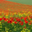 Poppy field — Stock Photo #2288167