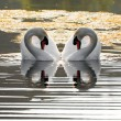 Swan love — Stock Photo #2391932