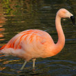 Stock Photo: Pink flamingo