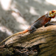 Maldivian lizard - Stock Photo