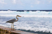 Maldivian heron — Stock Photo