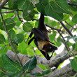 Maldivian bat — Stock Photo