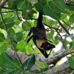 Maldivian bat — Stock Photo #2422537