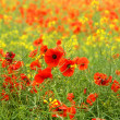 Stock Photo: Poppy field