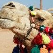 Camel portrait — Stock Photo #2606079
