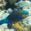 Buttlehead parrotfish - Stock Photo