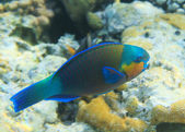 Buttlehead parrotfish — Stock Photo