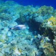 Coral reef and fishes in Egypt — Stock Photo