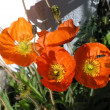 Poppies — Stockfoto