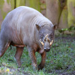 Babirusa,  Babyrousa babyrussa — Stock Photo