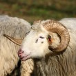 Stock Photo: Ram