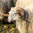 Ram — Stock Photo #2302951
